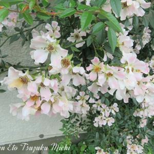 近所で撮って来たノイバラ(野茨)と言う花