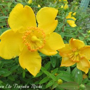 セイヨウキンシバイ(西洋金糸梅)と言う花