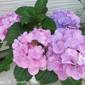 近所を散歩中に撮って来た綺麗な紫陽花