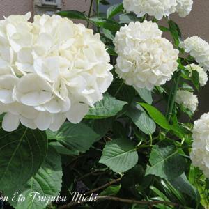 近所で撮って来た純白の紫陽花