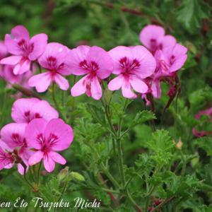 アイビーゼラニウム(蔦葉天竺葵 )「ツタバテンジクアオイ」と言う花