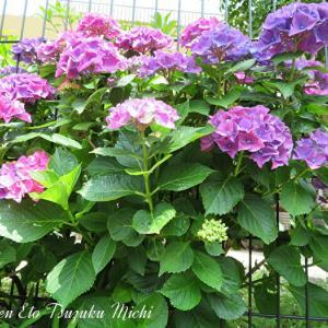 先日撮って来たカラフルな紫陽花