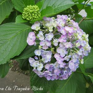 薄淡い色の紫陽花です