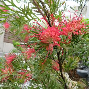 ベニバナハゴロモノキ(紅花羽衣の木)と言う花