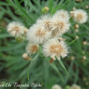 アレチノギク(荒地野菊)と言う花