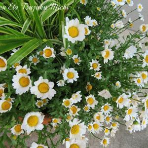 近所に咲いていたカンシロギク(寒白菊)です