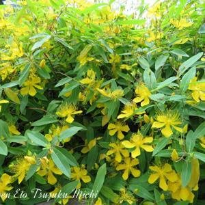 群生しているビヨウヤナギ(未央柳)と言う花