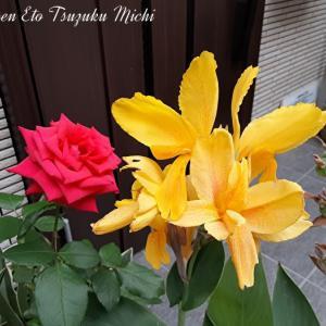 カンナ・オーキオイデスと言う花らしいのと紅い薔薇