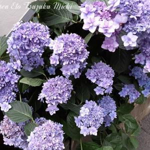 先日散歩中に見掛けた綺麗な色の紫陽花です