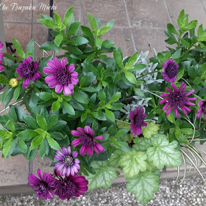 オステオスペルマム・エクロニスと言う濃い紫の花