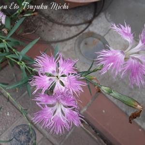 エゾカワラナデシコとか言う花です
