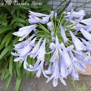 ムラサキクンシラン(紫君子蘭)と言う花らしい