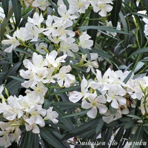 近所に咲いているキョウチクトウ(夾竹桃)