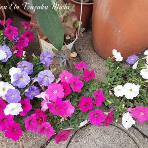 ペチュニアと言う花