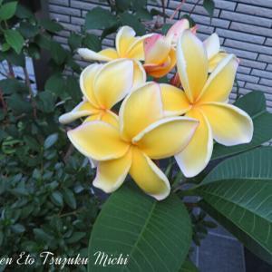 シロバナインドソケイ(プルメリア)と言う花