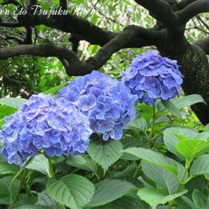 昨日の雨上がりの紫陽花です