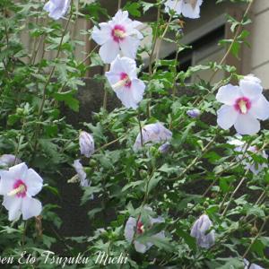 ムクゲ(木槿)フヨウ属の花です