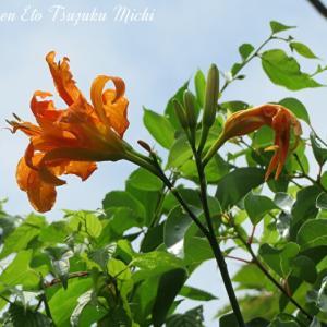 ヒメノウゼンカズラと言う花です