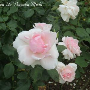 山下公園に綺麗に咲いていたピンクの薔薇です
