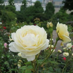 綺麗に咲いたクリーム色とピンクの薔薇です