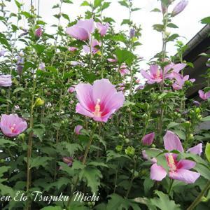 ピンクのムクゲ(木槿)フヨウ属の花です