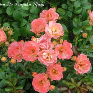 先日山下公園で撮って来たミニ薔薇です