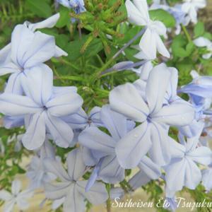 淡いブルーのルリマツリ(瑠璃茉莉)です