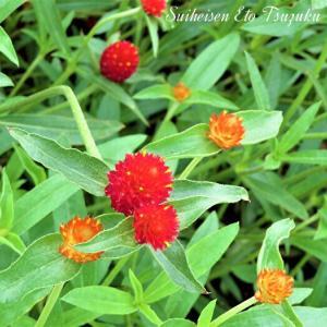 センニチコウ(千日紅)と言う花です