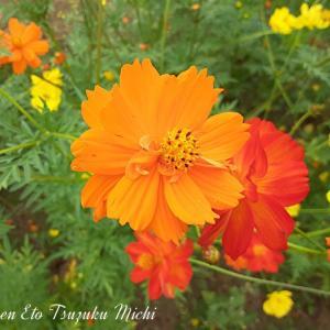 綺麗に咲いたキバナコスモス(黄花コスモス)です