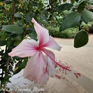 色鮮やかで綺麗に咲いたハイビスカス
