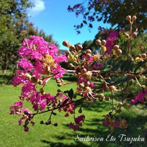 セイヨウハナズオウ(西洋花蘇芳)と言う花です