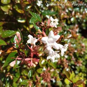 トウツクバネウツギと言う花です
