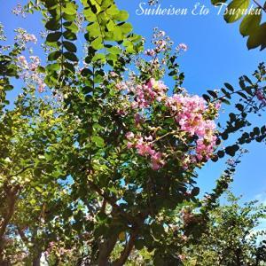 青空に映える花セイヨウハナズオウ(西洋花蘇芳)らしい
