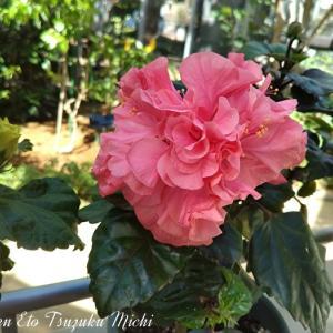 温室に咲いていた濃いピンクの花のアップ