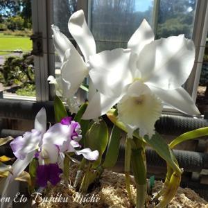 純白と白に紫色が混じったカトレアと白い胡蝶蘭