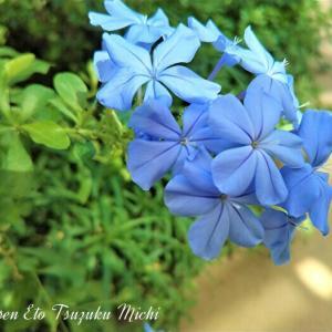 青く綺麗なルリマツリ(瑠璃茉莉)