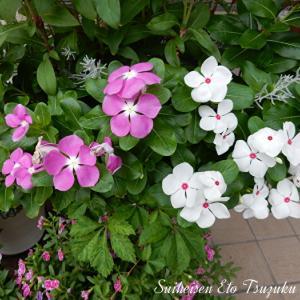 これも先日散歩中に撮って来た花です