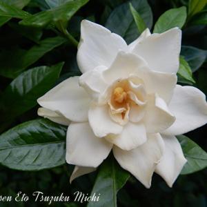 クチナシ(梔子)の花です
