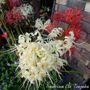 紅白の見事に咲いたヒガンバナ(彼岸花)です