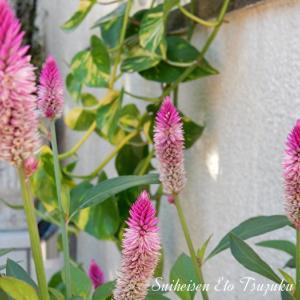 ノゲイトウ(野鶏頭)と言う花です