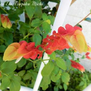 綺麗に色付いたコエビソウ(小海老草)と言う植物