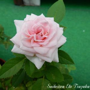 近所の花写真薔薇も咲いていました
