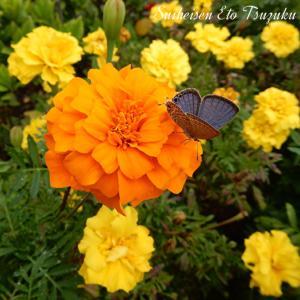 蝶のとまった(センジュギク)千寿菊のベストショットです