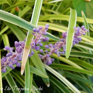 先日散歩中に出会ったヤブラン(藪蘭)と言う花です