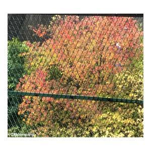 フェンス越しの紅葉・キャッシュレス