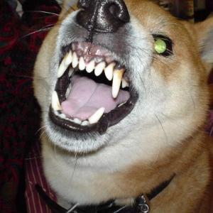 【悲報】私子(自覚してる音痴)、気持ちよく歌ってたら柴犬が歯茎剥き出して威嚇してきたwww