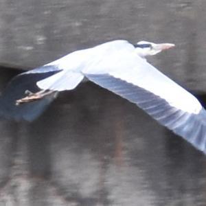 (続)冬・渡り鳥の季節