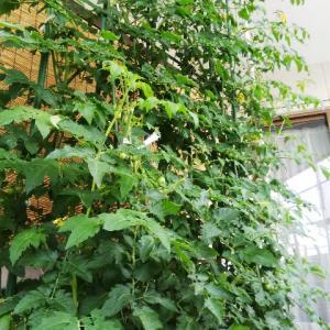 ミニトマトを育てる(2)