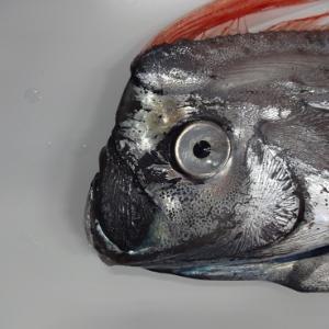 深海魚リュウグウノツカイの身体の一部は○○?!そして、気になるお味は?