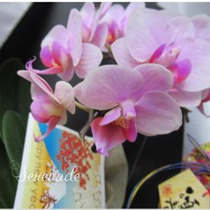 部屋のマイクロ胡蝶蘭